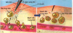 bạch cầu thực bào