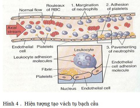 bạch cầu xuyên mạch