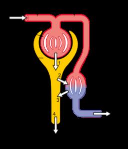 nephron- đơn vị cấu trúc và chức năng thận